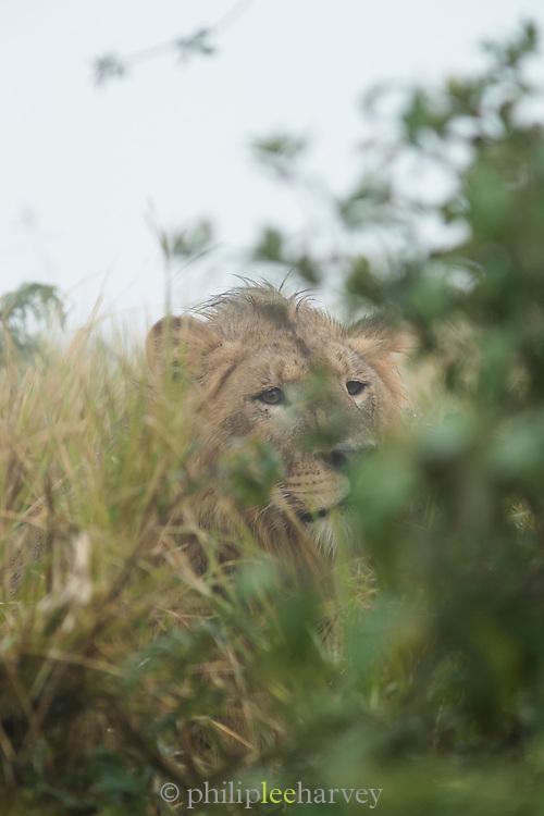 Nature photograph of a single young male lion (Panthera leo) hidden among the bushes during rain, Tarangire National Park, Tanzania