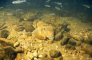 Northern Hogsucker<br /> <br /> Engbretson Underwater Photography