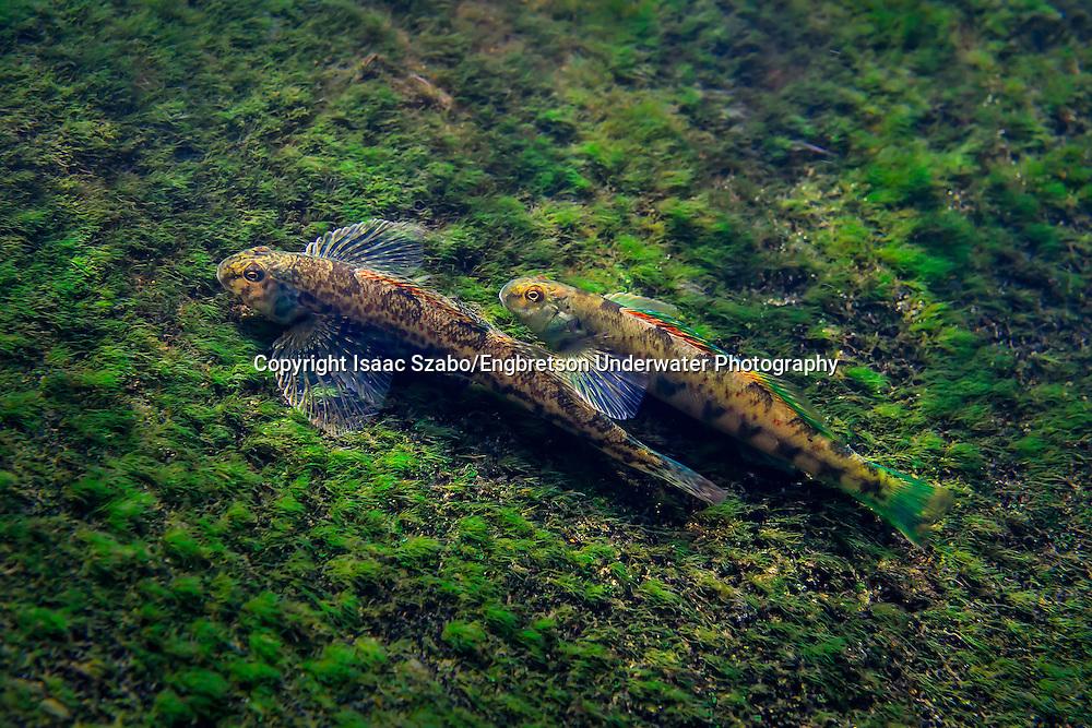 Greenside Darter<br /> <br /> Isaac Szabo/Engbretson Underwater Photography