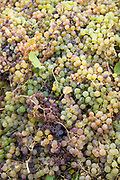 Close up of grapes on harvest time, Pisco Elqui, Chile