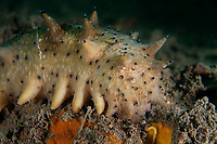 Japanese spiky sea cucumber, Apostichopus japonicus. Belongs to the family Stichopodidae, and it is found in shallow temperate waters. Zhifu Island (Chinese: 芝罘島), Shandong Province, China, byt the Bohai Sea, that is the inner part of the Yellow Sea where both the Yellow River and Hai He flow into. High commercial value.<br /> <br /> Conservation: The Yellow Sea is one of the most threatened marine areas on earth. Land reclamation has destructed more than 60% of tidal wetlands in only 50 years. Rapid coastal development for agriculture, aquaculture and industrial.development are primary drivers of coastal destruction in the region. In addition pollution, harmful algal blooms, invasion of introduced species are having a negative effect. There are 25 intentionally introduced species and 9 unintentionally introduced species in the Yellow Sea marine ecosystem.