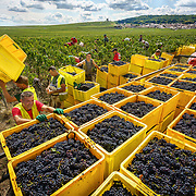 Harvest workers  reap a bumper harvest at Champagne Mumm at Mailly vineyard.G. H. Mumm & Cie, situated in Reims in northern France, is one of the largest Champagne producers and it is currently ranked 3rd globally based on number of bottles sold. The company is owned by Pernod Ricard.