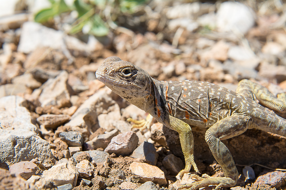 Close-up of a beautiful curious eastern collared lizard in Northwestern Texas as she scrambles across the Guadalupe Mountains in search insects, spiders and scorpions in the Chihuahuan Desert.