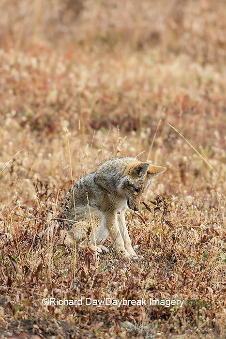 01864-03416 Coyote (Canis latrans) Yellowstone National Park, WY