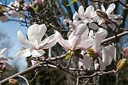 Magnolia (Magnolia x loebneri 'Merrill') flowers Real Gardin Botanico