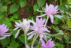 Colchicum 'Waterlily'. Meadow saffron