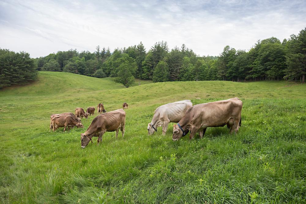 Herd of Brown Swiss cows grazing