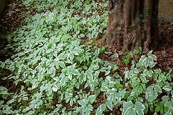 Aegopodium podagraria 'Variegatum' - Variegated ground elder - growing in dry shade under yew.