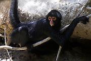 Spider Monkey, Ateles species, at mammal salt lick for minerals, Manu, Peru, Amazonian Rainforest, jungle,  diurnal, arboreal, new world, prehensile tail, black. .South America....