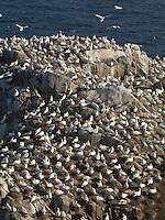 Gannets,  Sula bassana, Ireland Saltee Islands south east coast