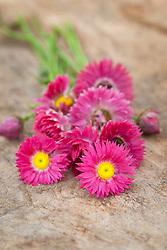 Helichrysum bracteatum 'Red Bonny'. Everlasting flower, Strawflower - check id