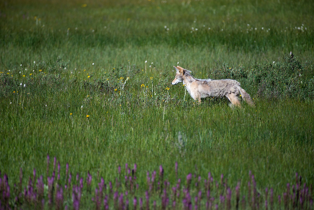 A coyote listening for voles in a flower filled meadow