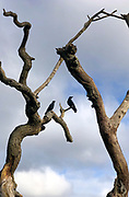 Pair of crows, Corvus, on sculptural dead tree in Gloucestershire, England