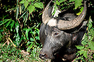 Indonesia, Sulawesi. Buffalo is sacred and the most precious animal in Tana Toraja.
