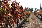 Vine Leaves Autumn Colours in a vineyard Kibbutz Ortal, Golan Heights, Israel