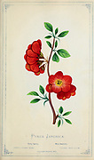 Chaenomeles japonica [Here as Pyrus Japonica], called the Japanese quince or Maule's quince, is a species of flowering quince that is native to Japan. from Dewey's Pocket Series ' The nurseryman's pocket specimen book : colored from nature : fruits, flowers, ornamental trees, shrubs, roses, &c by Dewey, D. M. (Dellon Marcus), 1819-1889, publisher; Mason, S.F Published in Rochester, NY by D.M. Dewey in 1872