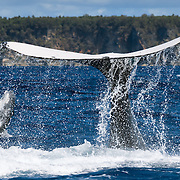 A male humpback whale calf playing with his mother. The adult whale alternated between breaching and slapping her fluke against the ocean surface, while the calf swam around her and breached. The calf was skinny for his size and had a prominent injury on the right side of his caudal stem area. The wound, which seemed to have healed for the most part, appeared to be the result of a large bite. The undersized calf was energetic, playful, and had a propensity to venture substantial distances from his mother.