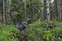 Great grey owl (Strix nebulosa) landing on floor of boreal forest, Oulu, Finland.