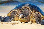 Pacific Green Sea Turtles hauled out to bask at Ho'okipa Beach Park, Paia, Maui, Hawaii, USA