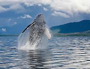 USA, Alaska, Frederick Sound, Humpback whale (Megaptera novaeangliae) breaching