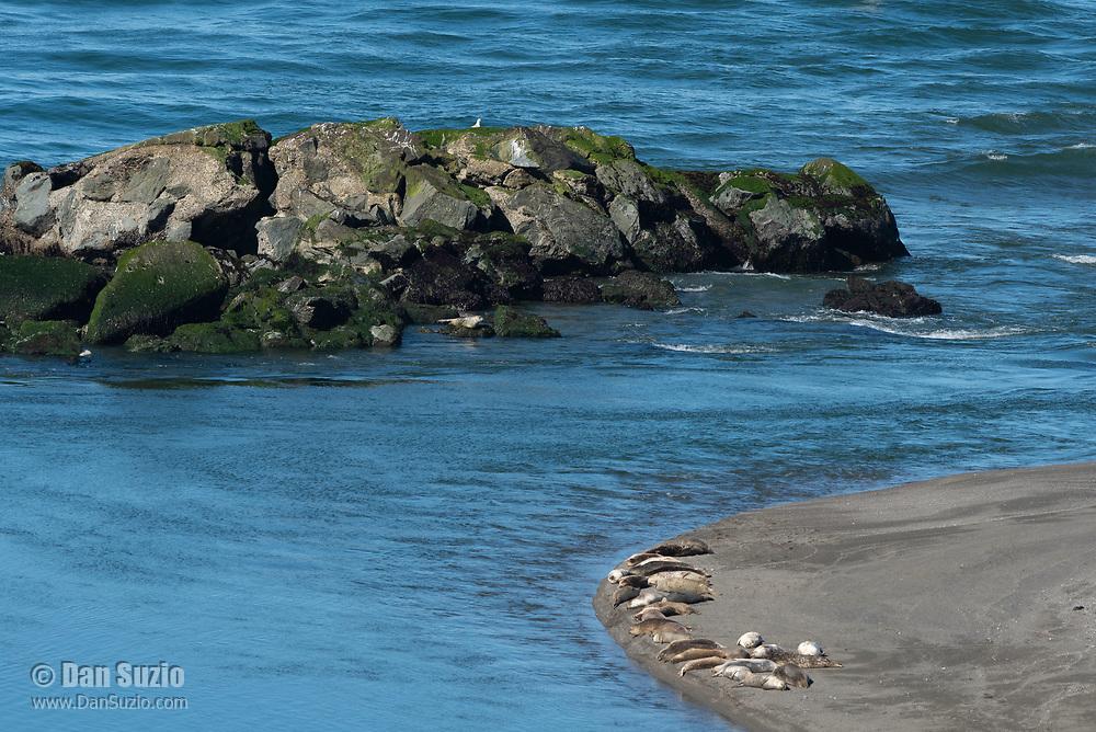 Harbor Seals, Phoca vitulina, rest on the beach at Jenner, California
