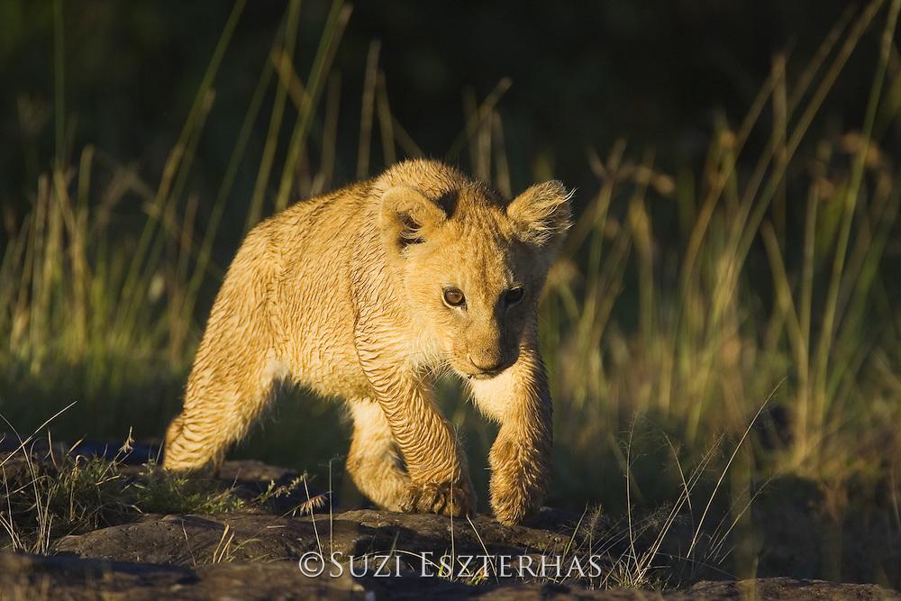 Lion <br /> Panthera leo<br /> Masai Mara Triangle, Kenya