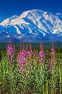 Fireweed flowers and Mt. Denali/ McKinley, Denali National Park & Preserve, Alaska