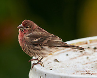 House Finch. Image taken with a Nikon D850 camera and 400 mm f/2.8 lens.