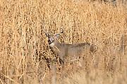 Whitetail deer during autumn rut Whitetail buck during the autumn rut