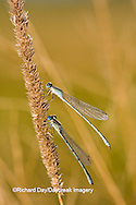 06105-00114 Two Familiar Bluets (Enallagma civile) damselflies in early morning dew, Marion Co., IL