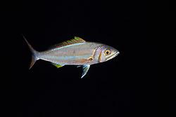 Forktail Snapper, Aphareus furca, night coloration, off Kona Coast, Big Island, Hawaii, Pacific Ocean