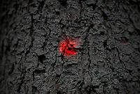 06.06.2016 Puszcza Bialowieska woj podlaskie N/z uschniete swierki zaatakowane przez kornika drukarza; znak na drzewie fot Michal Kosc / AGENCJA WSCHOD