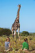 Giraffe (Giraffa camelopardalis) <br /> Marataba, A section of the Marakele National Park<br /> Limpopo Province<br /> SOUTH AFRICA<br /> RANGE: Savanna regions in scattered isolated pockets of Sub-Saharan Africa.
