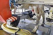 Nederland, Groesbeek, 23-5-2017 Koeien staan in de stal bij een melkveebedrijf. Ze kunnen zelfstandig gemolken worden in de moderne, computergestuurde melkrobot. Volgende week is er een open dag georganiseerd door melkproducent Friesland-Campina. Foto: Flip Franssen