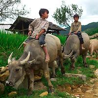 Children riding water bufallos at nortthern Vietnam countryside