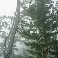 Fog enshrouds pine treesnear the California Coast.