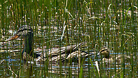 Mallard (Anas platyrhynchos). Lily Lake. Rocky Mountain National Park, Colorado. Image taken with a Nikon D2xs camera and 80-400 mm VR lens.