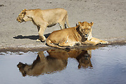 two alert and watchful Lionesses waiting by a water pool. Photographed in Tanzania