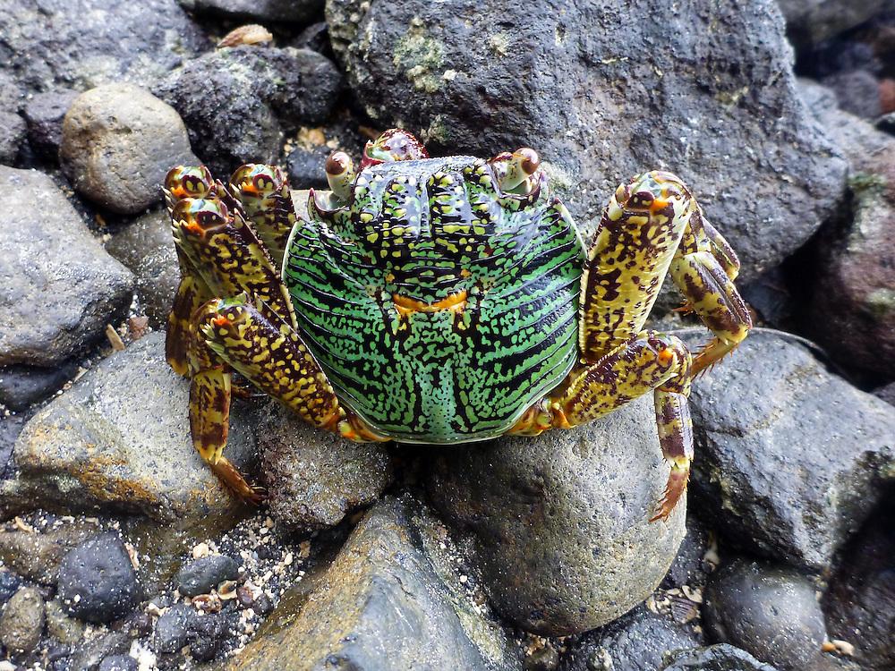 A Sally Lightfoot crab, Kadavu, Fiji
