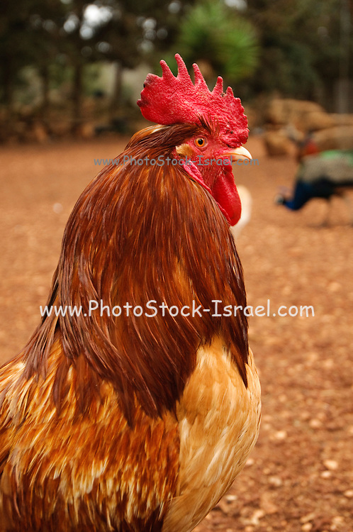 Rooster close up