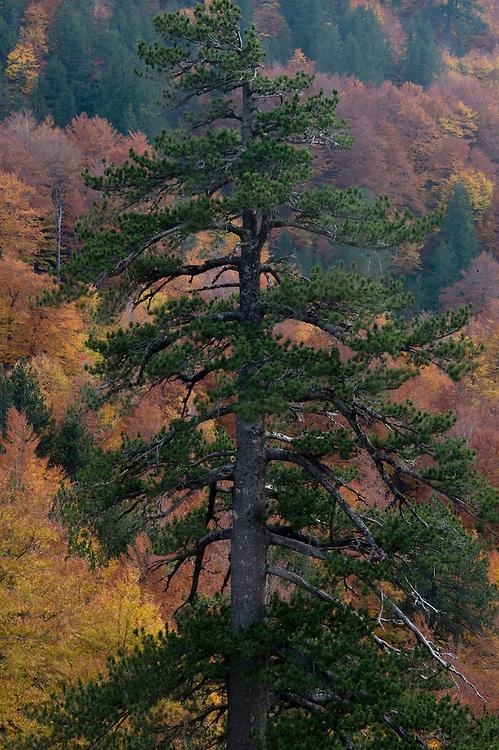 Greece, Pindos Mountains, Pindos NP, Valia Calda, Balkan Pine tree in Valia Calda,