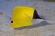 Yellow Longnose Butterflyfish, Forcipiger flavissimus.