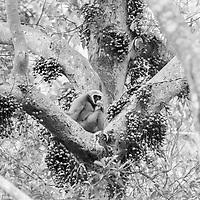 White-handed gibbon AKA Lar gibbon.