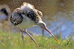 White Ibis, Mrazek Pond
