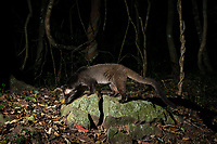 The masked palm civet or gem-faced civet (Paguma larvata) is a civet species native to the Indian Subcontinent and Southeast Asia.