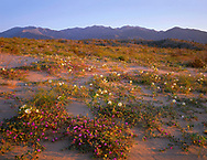 CADAB_106 - Desert sand verbena and dune evening primrose blooming on dunes at sunrise with the Santa Rosa Mountains in the distance, Anza-Borrego Desert State Park, California, USA