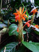 Ginger, Lyon Arboretum, Manoa Vally, Honolulu, Hawaii