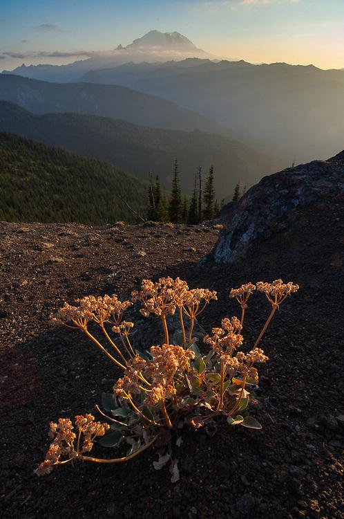 Eriogonum wildflowers ( Eriogonum umbellatum), evening light, August, view of Mount Rainier from the Norse Peak Wilderness, Mount Baker-Snoqualmie National Forest, Washington, USA