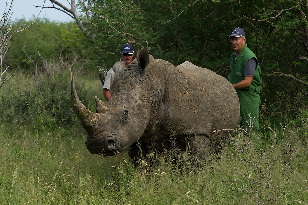 White Rhinoceros (Ceratotherium simum) darted for relocation. Conservation Solutions Kester Vickery & Vet Andre Uys moving the sedated animal for loading into crate<br /> Private Game Reserve<br /> SOUTH AFRICA<br /> RANGE: Southern & East Africa<br /> ENDANGERED SPECIES