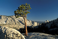 Jeffrey Pine, Clouds Rest and Half Dome from Olmsted Point, High Sierra, Yosemite National Park, California